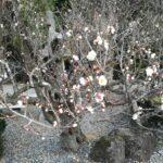 成田山の梅祭り